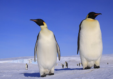 VIDEO: 150,000 Penguins Have Died Since a Huge Iceberg Blocked Their Colony From the Sea