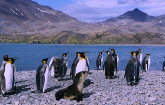 King Penguins Face a Shrinking Realm
